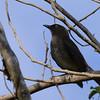 Scaly-breasted Thrasher (Allenia fusca) Morne Diablotins Reserve, Dominica