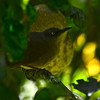 Brown Trembler (Cinclocerthia ruficauda) Morne Diablotins Reserve,  Dominica