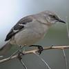 Northern Mockingbird (Mimus polyglottos) Bataquitos Lagoon, Carlsbad CA