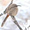 Crissal Thrasher (Toxostoma crissale) Albuquerque NM
