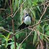 Blue-and-white Mockingbird (melanotis hypooleucus) Chelemha Reserve, Yalijux Mountains, Guatemala