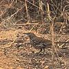Long-billed Thrasher (Toxostoma longirostre) Santa Ana NWR, TX