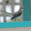 Tropical Mockingbird (Mimus gilvus) Ambergris Cay, Belize