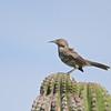 Gray Thrasher (Toxostoma cinereum) Oasis Las Palmas, Baja California