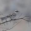 Long-tailed Mockingbird (Mimus longicaudatus) Chappari <br /> Reserve, Lambayeque, Peru
