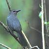 Gray Catbird (Dumetella caroliniensis) Naples, FL