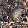 Curve-billed Thrasher (Toxostoma curvirostre) Tuscon, AZ