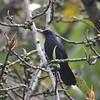 Blue Mockingbird (Melanotis caerulescens El Cielo Biosphere Reserve, Tamaulipas, Mexico
