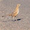 Bendire's Thrasher (Toxostoma bendirei) Phoenix AZ