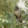Chalk-browed Mockingbird (Mimus saturninus) Sao Paulo, Brazil