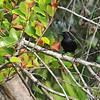Black Catbird (Dumetella glabrirostris) Ambergris Cay, Belize