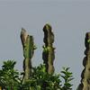 Blue-naped Mousebird (Urocolius macrourus) Queen Elizabeth II NP, Uganda