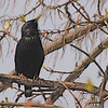 European Starling (Sturnus vulgaris) Bismarck, ND
