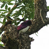 Violet-backed Starling (Cinnyricinclus leucogaster) Krueger NP, South Africa
