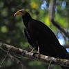 Greater Yellow-headed Vulture (Cathartes melambrotus) Tingana Reserve near Moyabamba, Peru