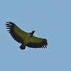 King Vulture ( )  Rio Platano Reserve, La Moskitia, Honduras