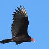 Turkey Vulture (Cathartes aura) Bismarck ND