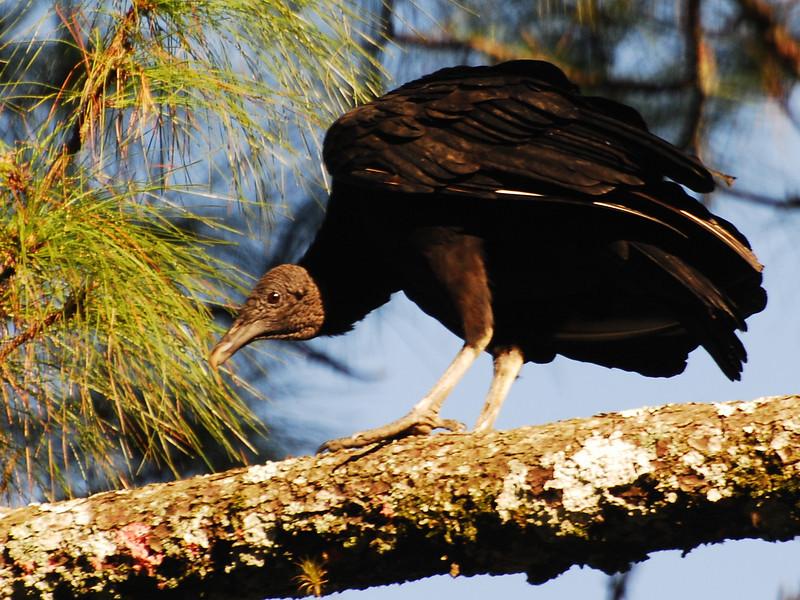 Black Vulture (Coragyps atratus) Lago Yajoa, Honduras