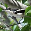 Fiscal Flycatcher (Sigelus silens) Xaro Lodge, Okavongo River, Botswana