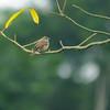 Pale Flycatcher (Bradornis pallidus), Assin Fosu, Ghana