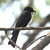 Southern Black Flycatcher (Melaenornis pammelaina) Xaro Lodge, Okavongo River, Botswana