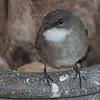 Swamp Flycatcher (Muscicapa boehmi) Queen Elizabeth LL NP, Uganda