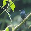 Yellow-eyed Black Flycatcher (Melaenornis ardesiacus) Bwindi Impenetrable Forest, Buhoma, Uganda