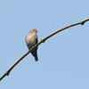 Ussher's Flycatcher (Muscicapa ussheri) Nsutu Forest, Ghana