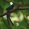 Seychelles Paradise-Flycatcher (Terpsiphone corvina) La Vev Reserve, La Digue, Seychelles