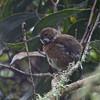 Hawaii Elepaio (Chasiempis sandwichensis) Hakalau Forest NWR, Hawaii HI