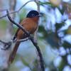Madagascar Paradise-Flycatcher (Terpsiphone mutata) Mount Karthala, Grand Comore, Comoros