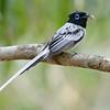 Madagascar Paradise-Flycatcher (Terpsiphone mutata) Berenty,  Madagascar