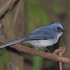 White-tailed Blue-Flycatcher (Elminia albicaudata) Mfahinga Gorilla Reserve, Uganda