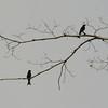 Velvet-mantled Drongo (Dicrurus modestus) Nsutu Forest, Ghana