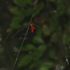 Crested Malimbe (Malimbus malimbicus) Ankasa Forest and Reserve, Ghana