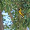 Southern Masked Weaver (Ploceus velatus) Etosha NP, Namibia