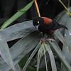 Vieillot's Black Weaver (Ploceus nigerrimus) stripping  a leaf for nest building material, Kakum National Park, Ghana