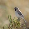 Scaly-feathered Finch (Sporopipes squamifrons) Etosha NP, Namibia