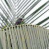 Red-vented Malimbe (Malimbus scutatus) female, Axim, Ghana