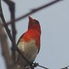 Red-headed Weaver (Anaplectes melanotis) Krueger NP, South Africa