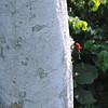 Red-headed Malimbe (Malimbus rubricollis) Kakum National Park, Ghana