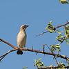 White-browed Sparrow-weaver (Plocepasser mahali) Etosha NP, Namibia