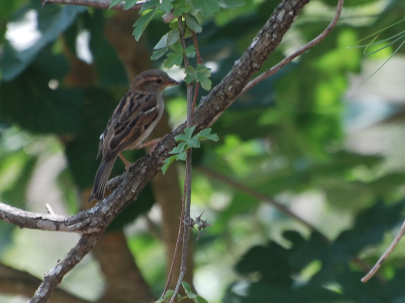House Sparrow (Passer domesticus) Bismarck, ND