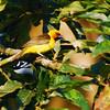 Spectacled Weaver (Ploceus ocularis) Bwindi-Impenetrable Forest NP, Buhoma, Uganda