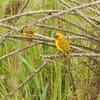 Orange Weaver (Ploceus aurantius) Axim, Ghana