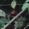 Blue-billed Malimbe (Malimbus nitens) Nsutu Forest, Ghana