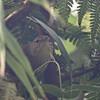 Anjouan Brush-Warbler (Nesillas longicaudata) Lake Dzialandze, Anjouan, Comoros