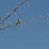 Black-chinned Prinia (Prinea flavicans) Etosha NP, Namibia