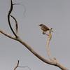 Red-winged Warbler (Heliolais erythroptera) Winneba Plains, Ghana
