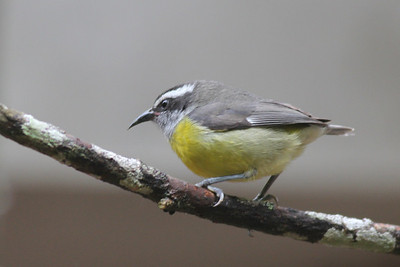 Bananaquit and Warblers